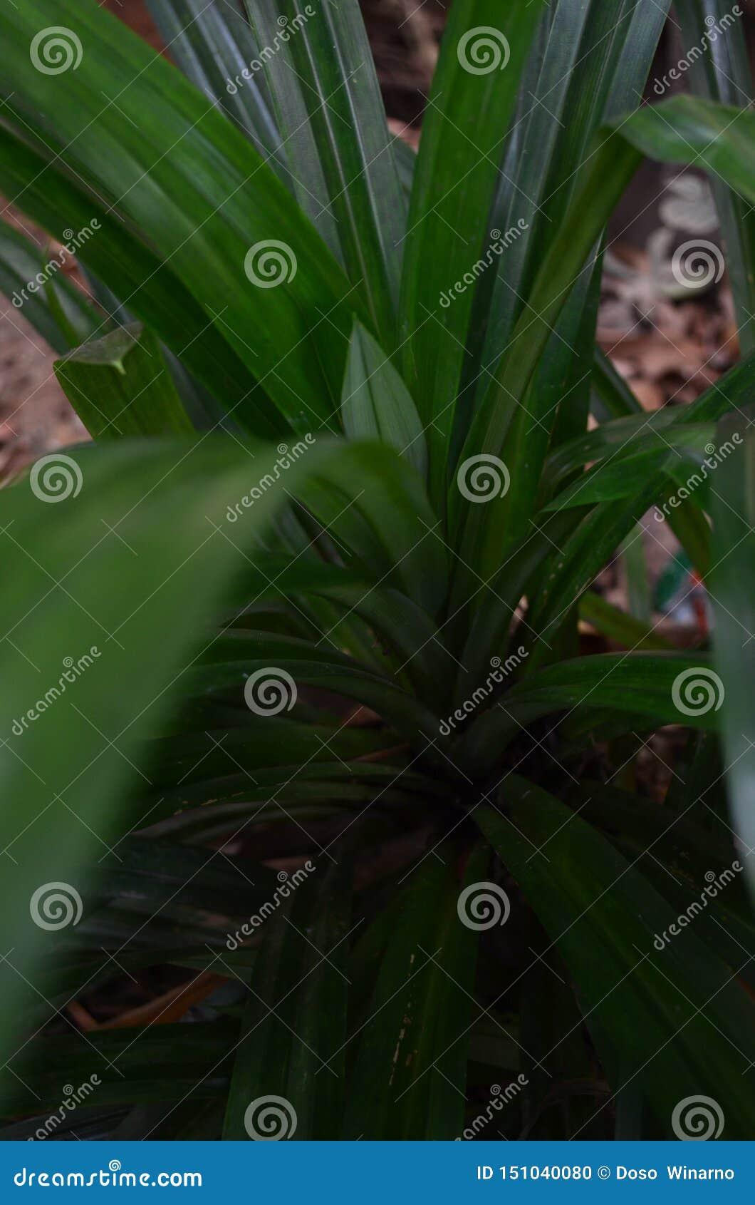 De species van de tricolororchidee van Vanda van endemische orchideeën
