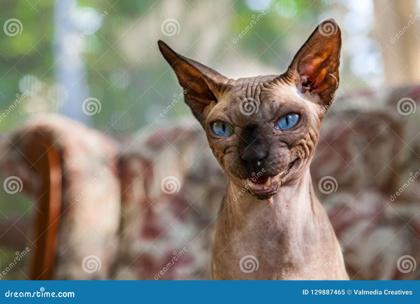 De Sphynxkat mauwt op een grappige manier