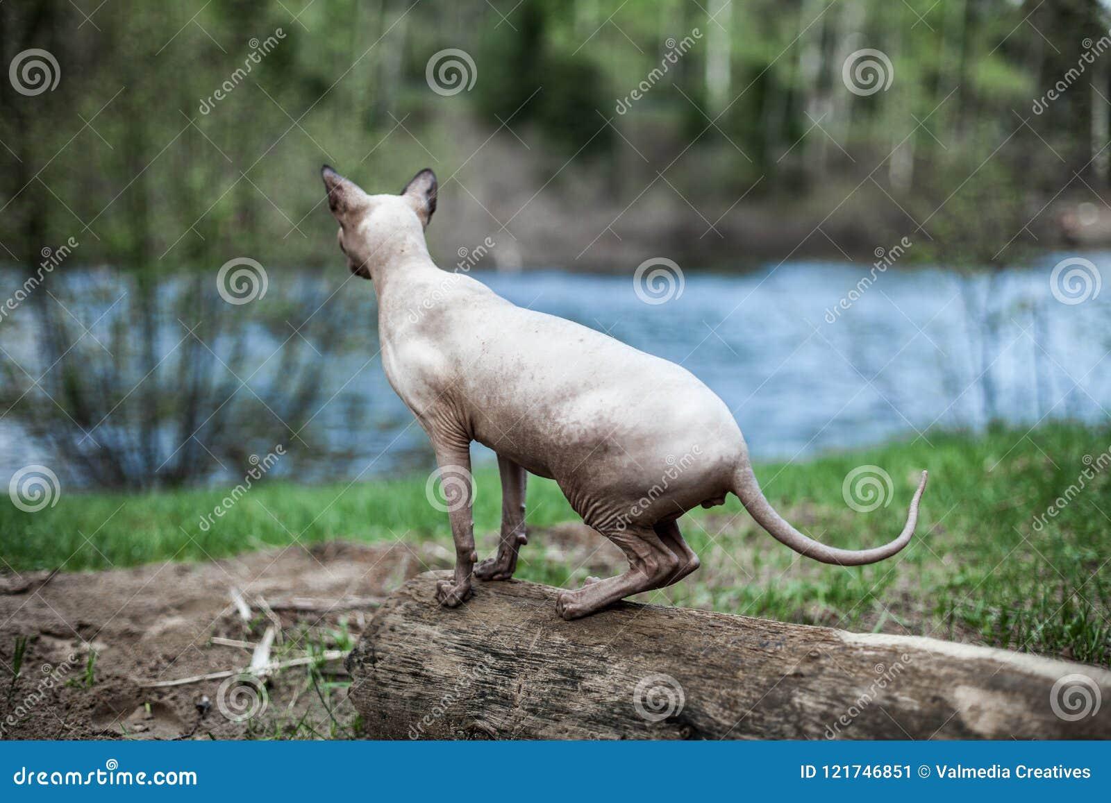 De Sphynxkat ontdekt de omgeving van het huis