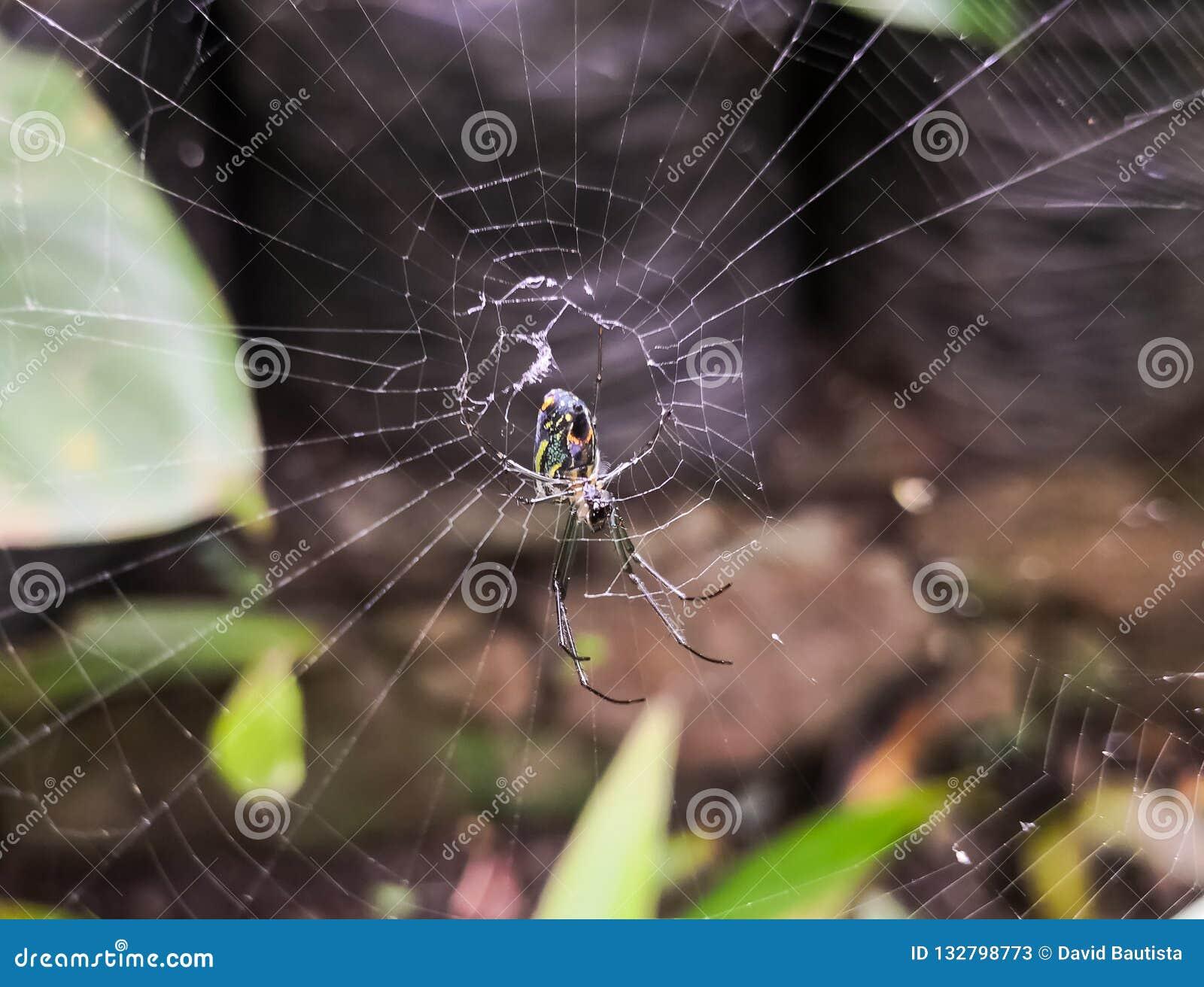 De spin van Argiopebruennichi onder gedetailleerd spiderweb