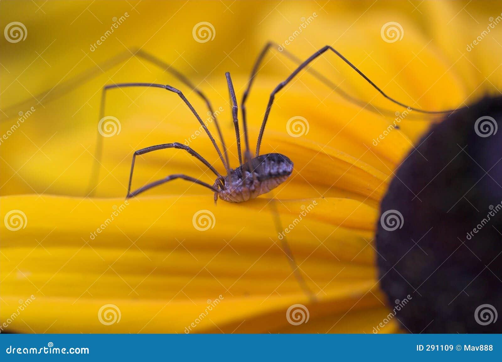 De spin van de hooiwagen