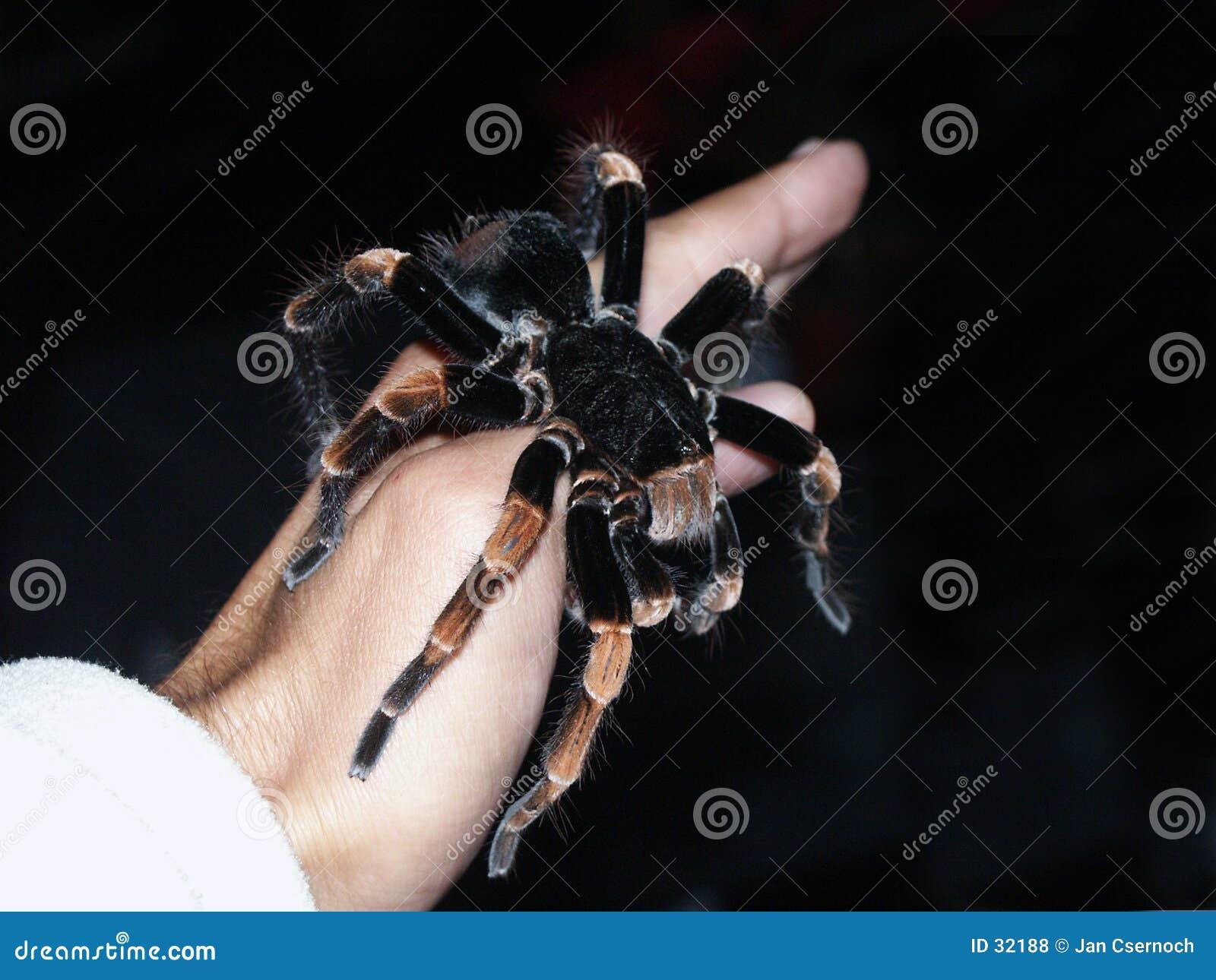 De spin van de tarantula op hand