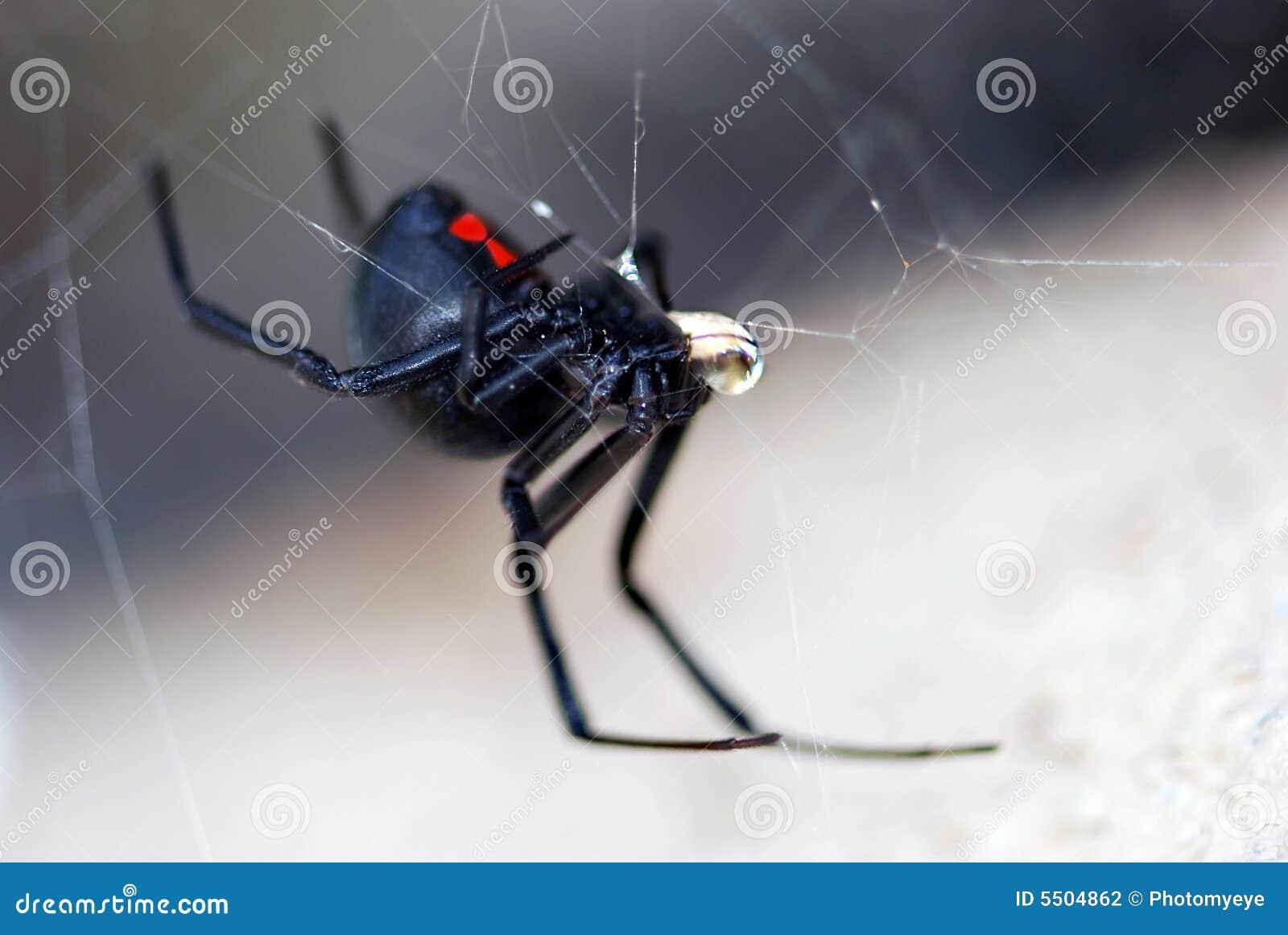 De spin van de zwarte weduwe