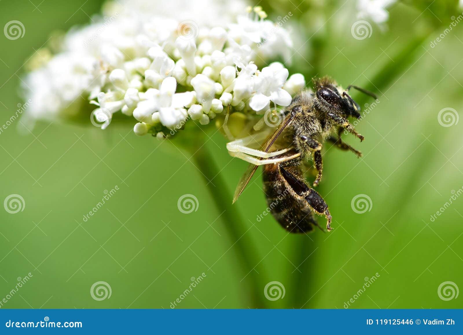 De spin ving zijn bijenprooi