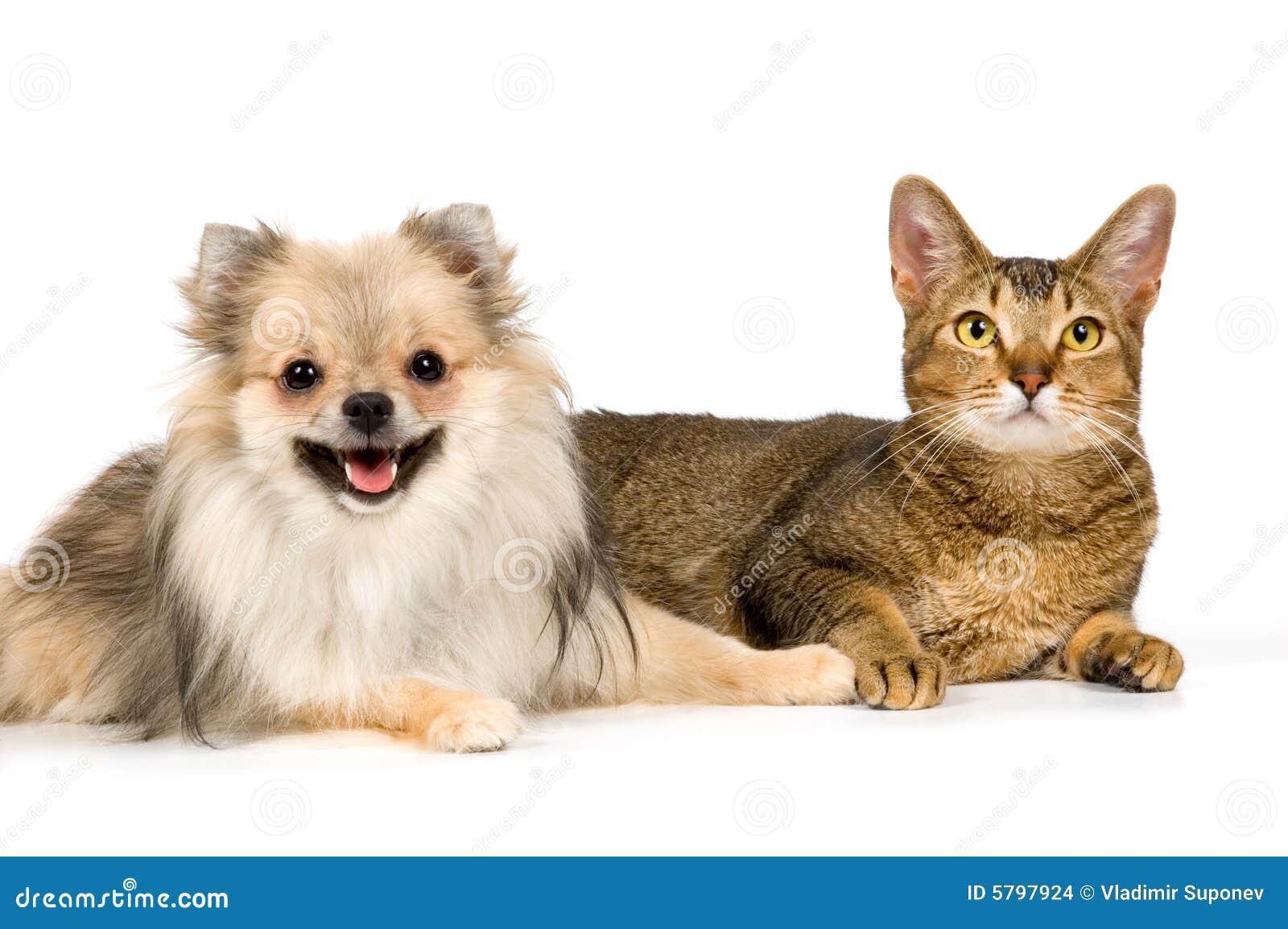 De spitz-hond en de kat