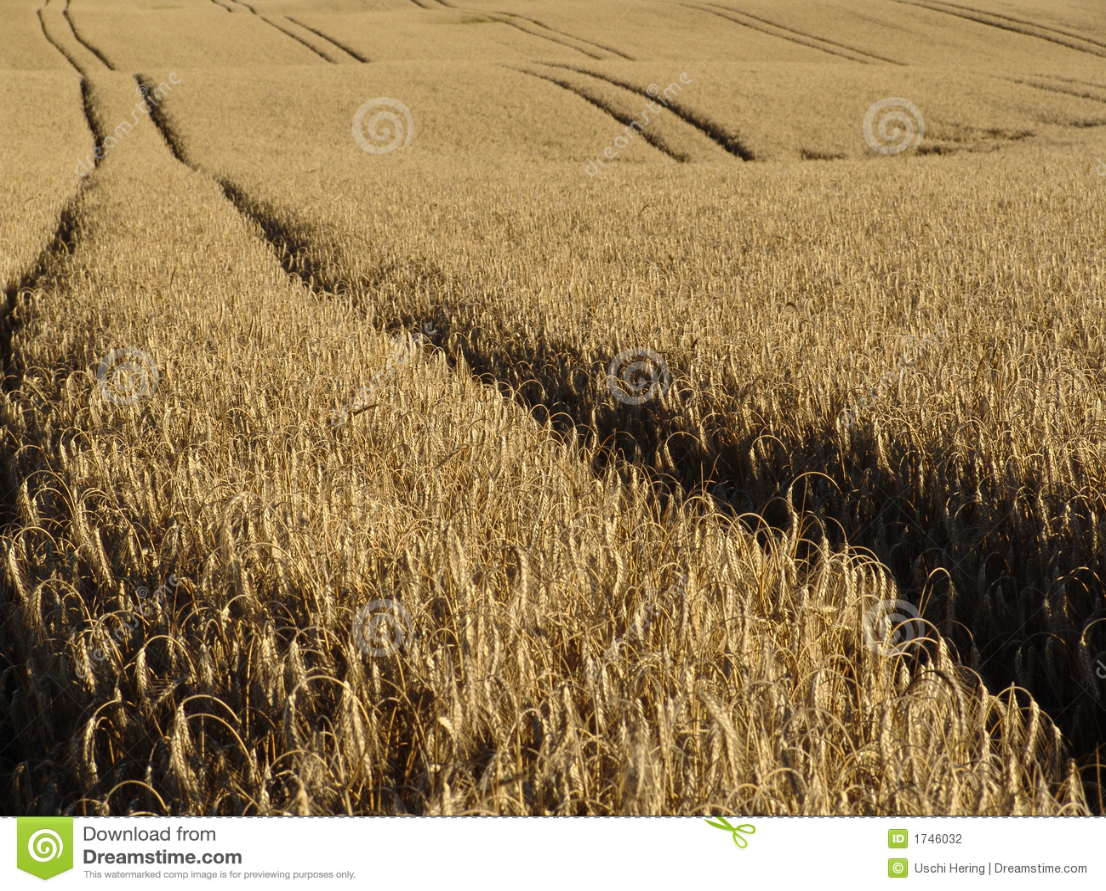 De sporen van de tarwe