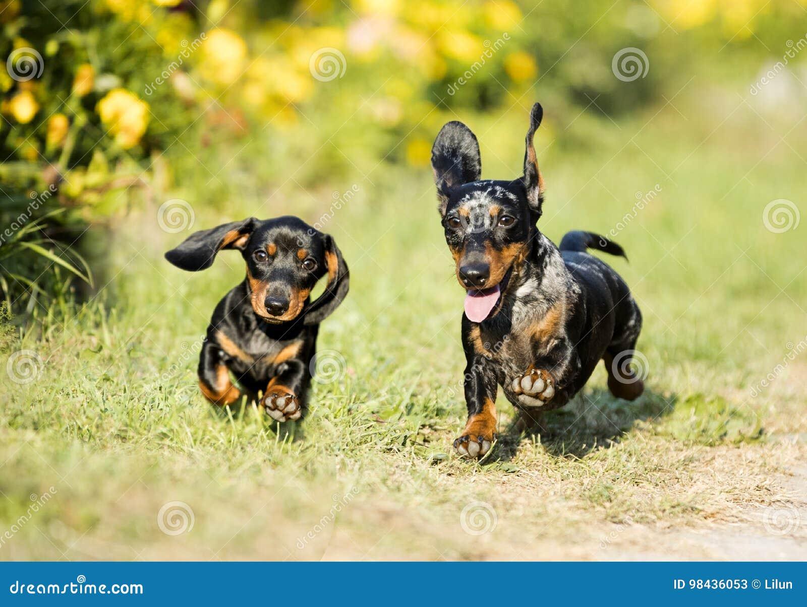 De Sprongen van tekkelshonden