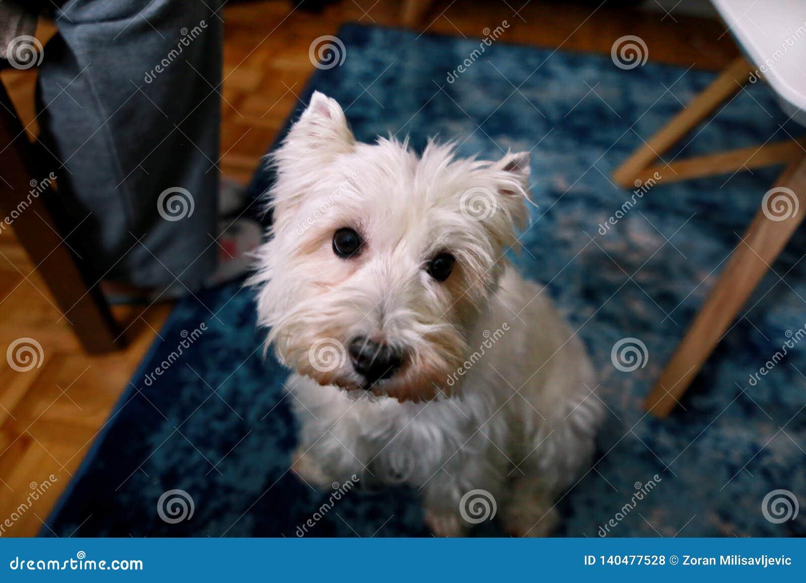 De spruit van de hondfoto thuis Huisdierenportret van hond die van Terrier van het het Westenhoogland de Witte en op vloer en bla
