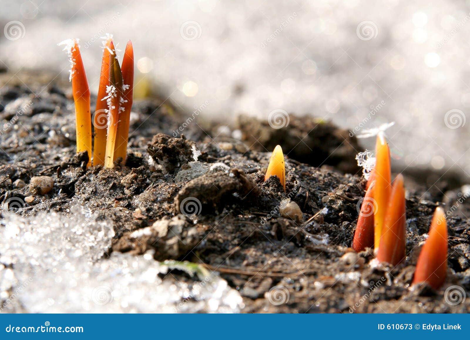 De spruiten van de tulp