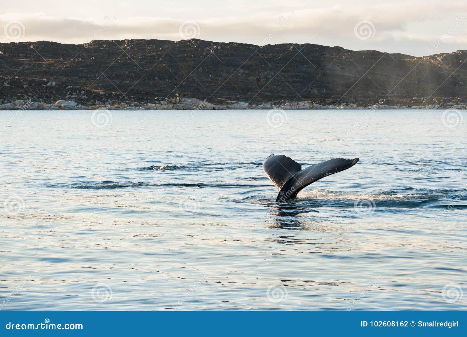 De staart van de gebocheldewalvis, Groenland