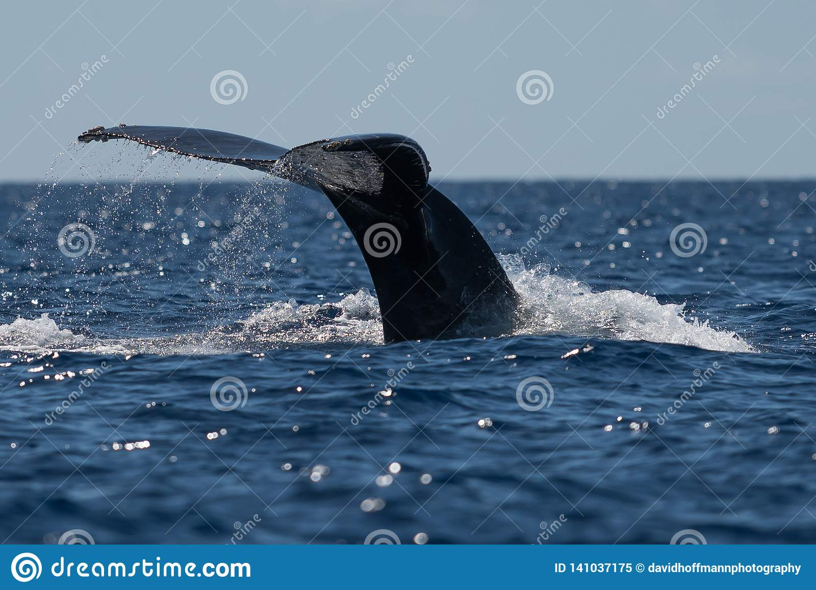 De staartbot van de gebocheldewalvis