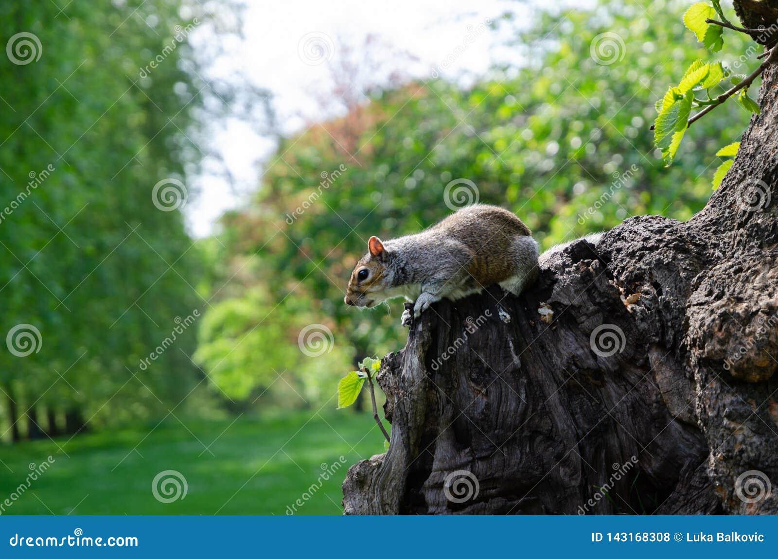 De stad/Engeland van Londen: Grijze eekhoorn die pinda in St James park eten