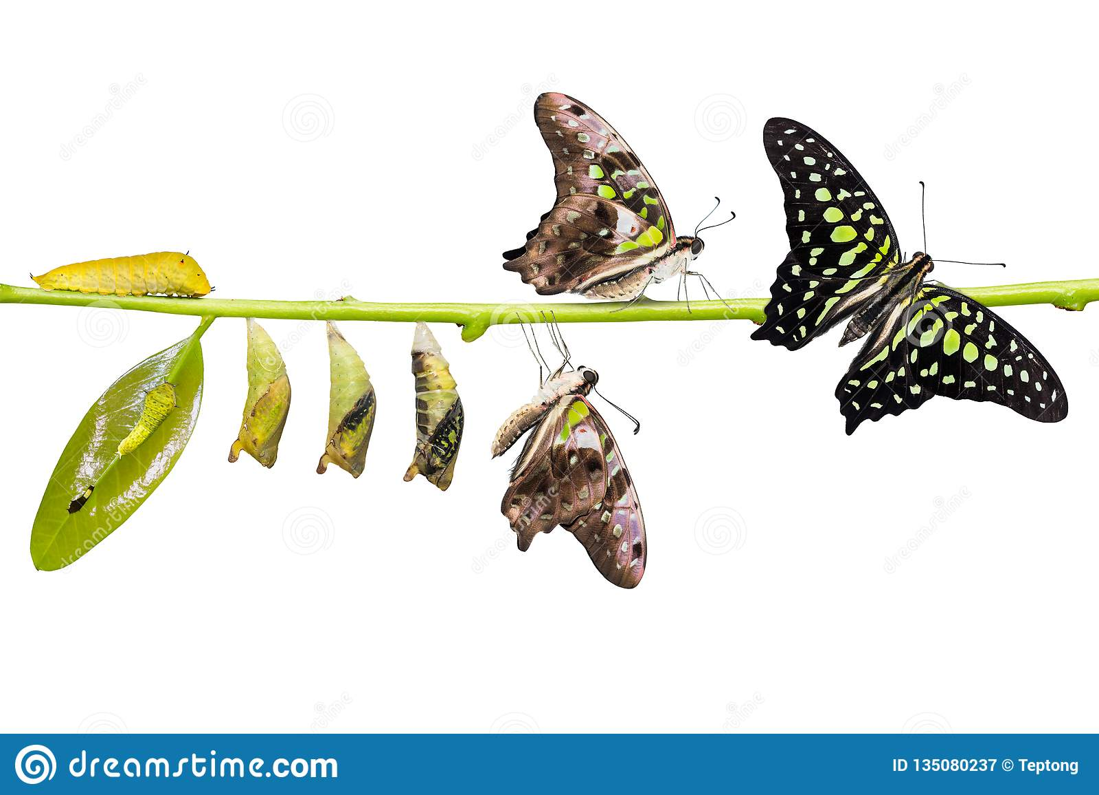 De de steel verwijderde van cyclus van het de vlinderleven van Jay Graphium agamemnon