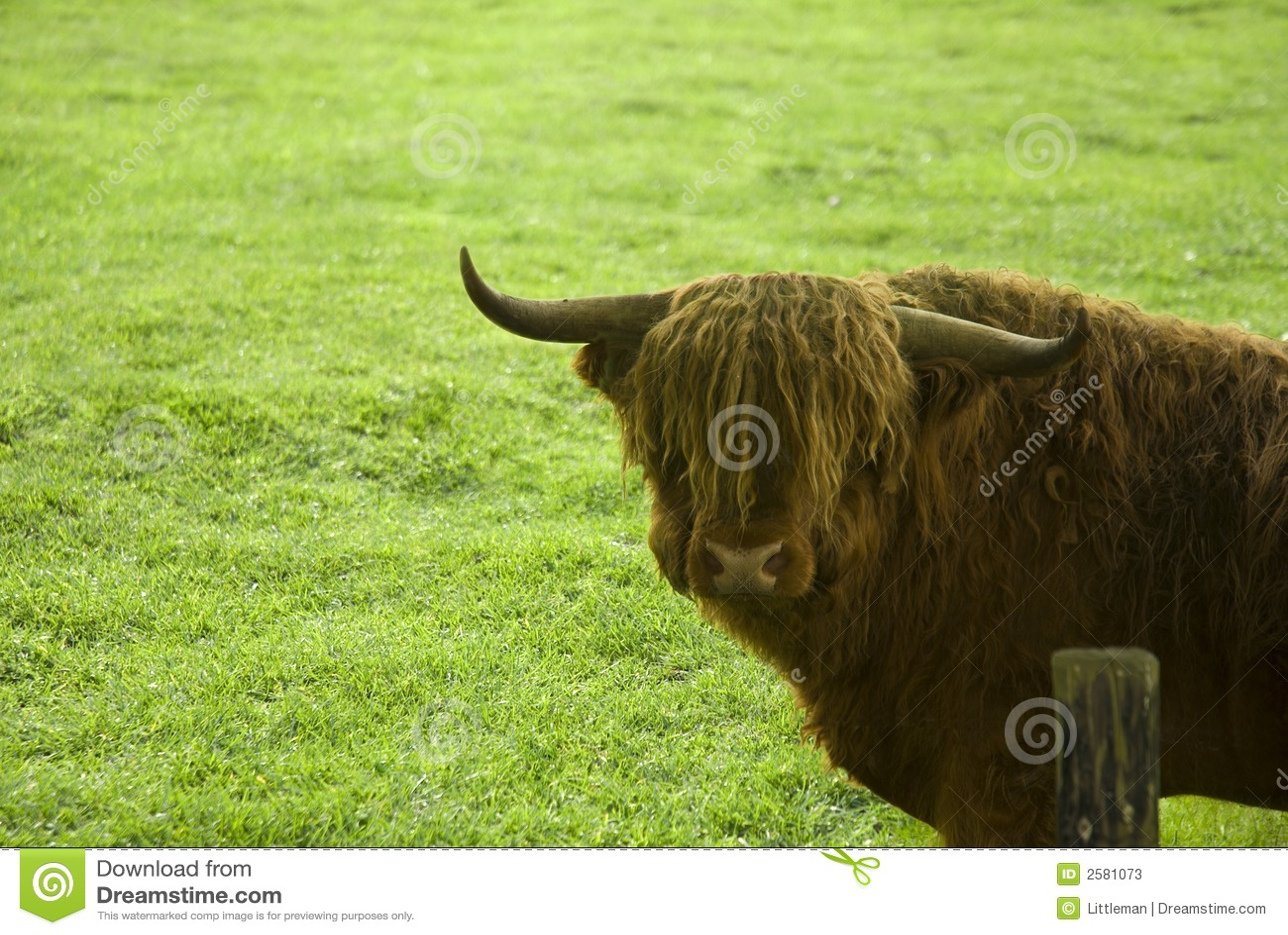 De stier van de Hooglander