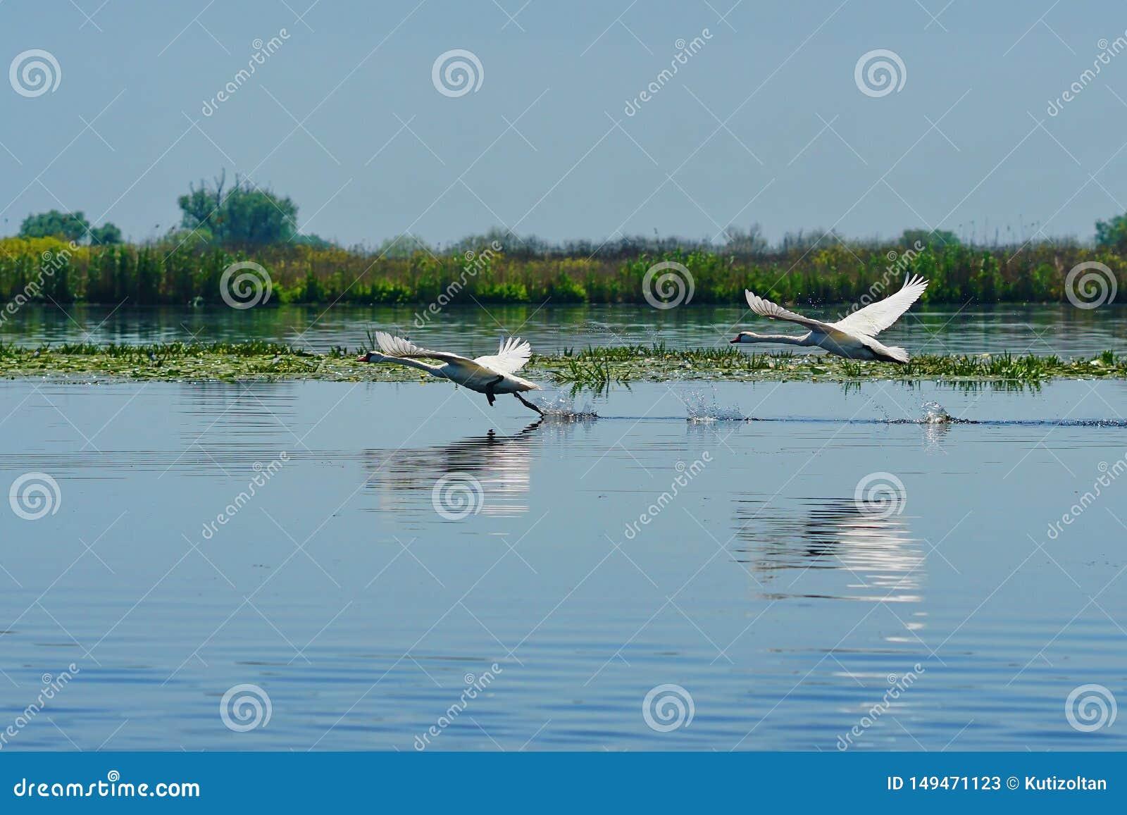 De stijgingen van zwaanvogels van vleugel