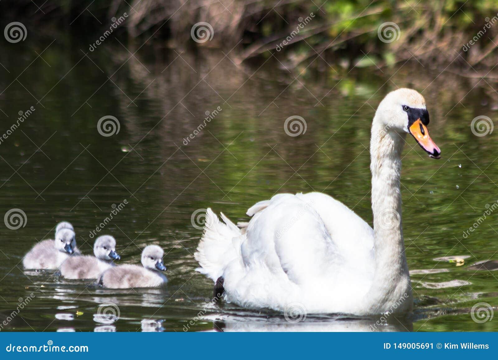 De stodde zwaan die voor eerste gaan zwemt met zijn jonge zwanen