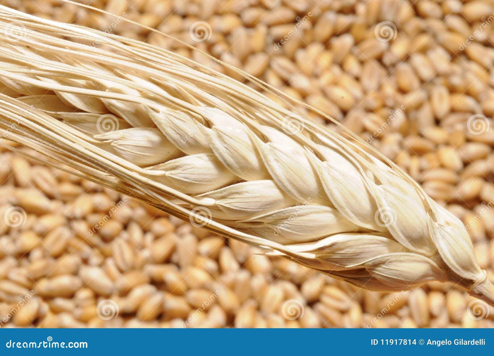 De stoom van de tarwe op korrels