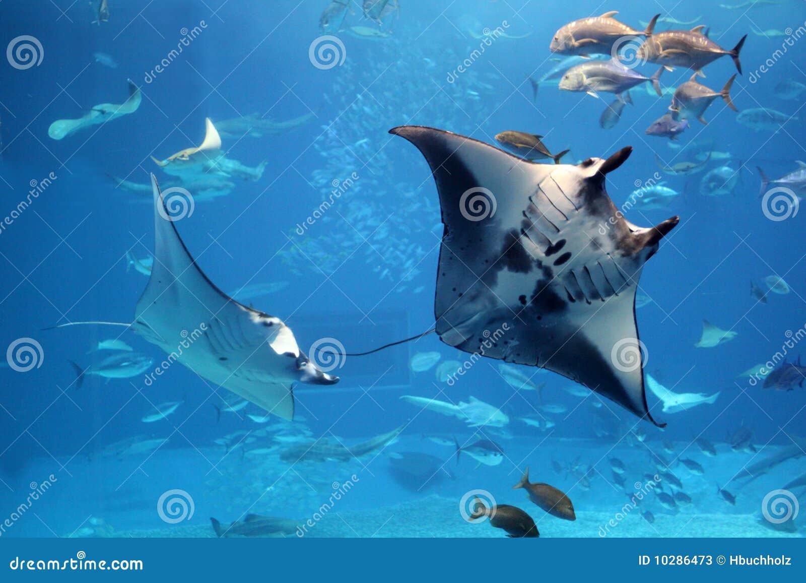 De stralen die van Manta in een zwerm van andere vissen vliegen