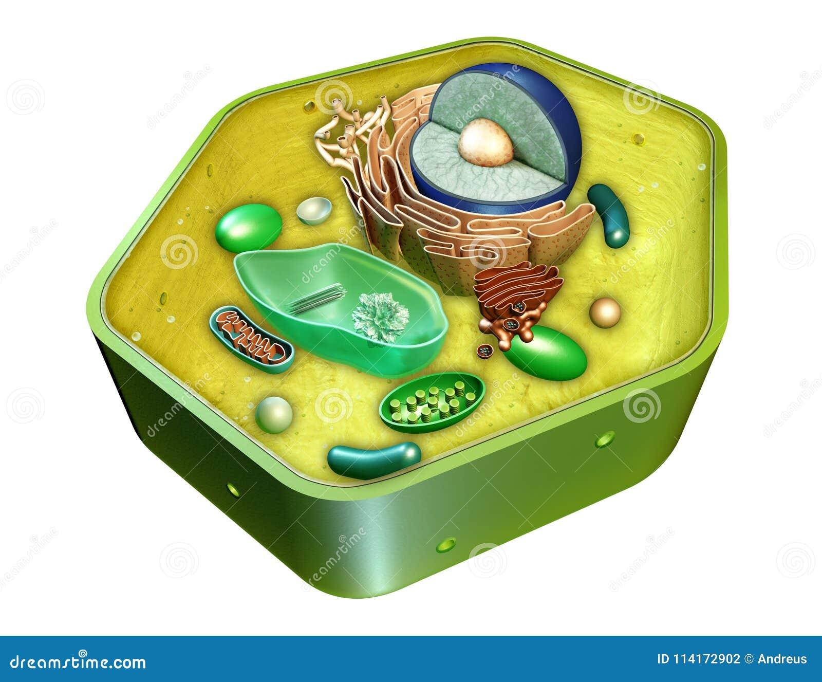 De structuur van de broekcel
