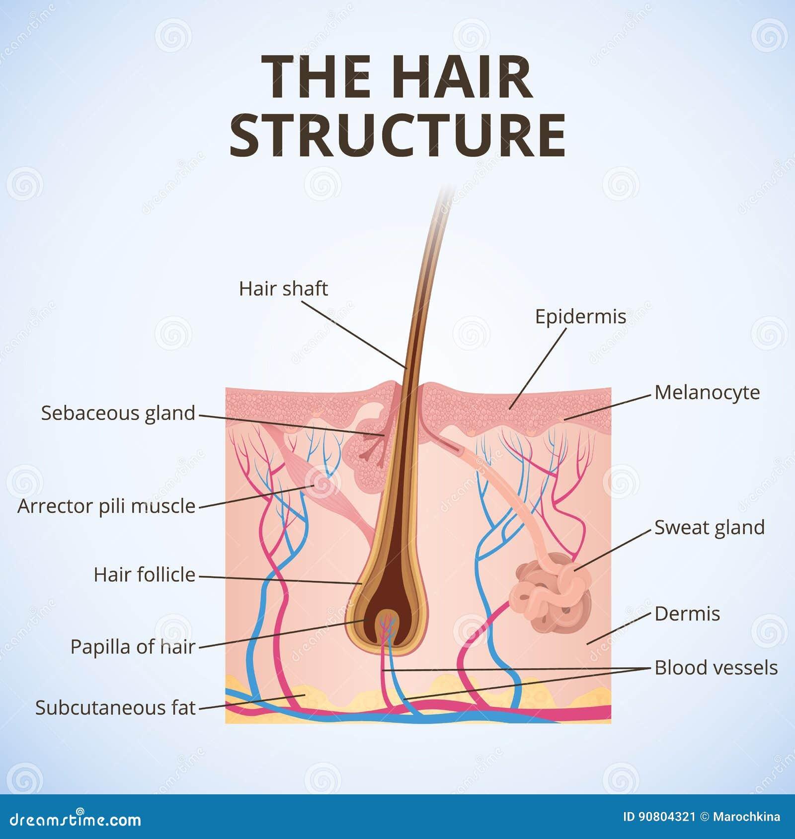 De structuur van het haar
