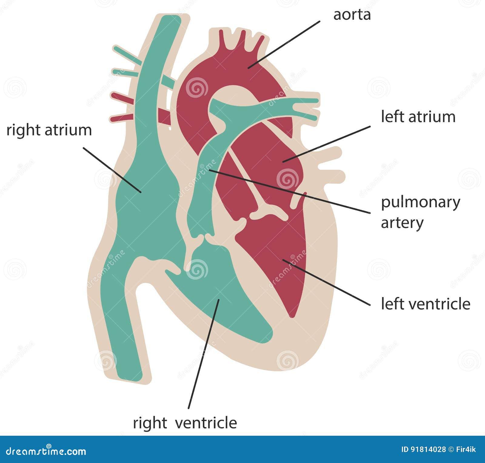 De structuur van het hart