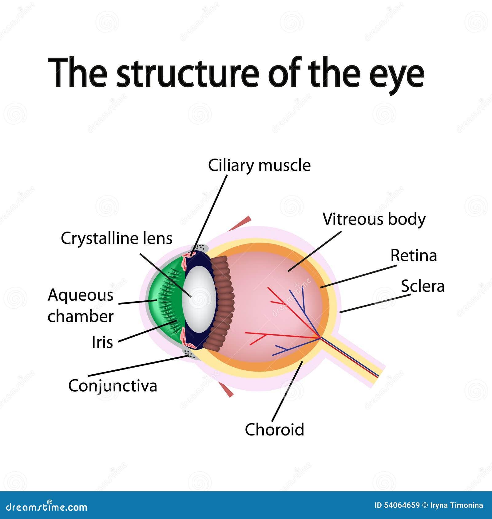 De structuur van het oog vector illustratie afbeelding for Bedroom y sus partes en ingles