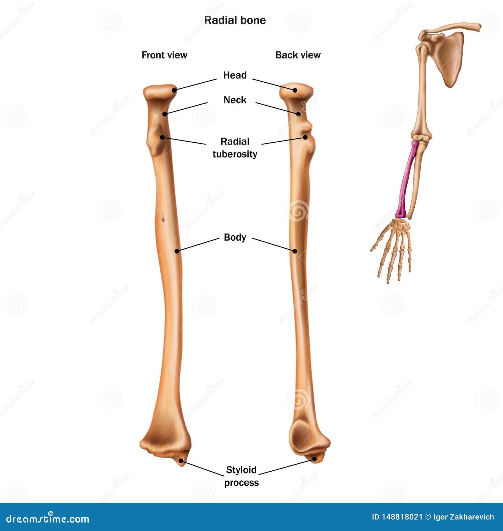 De structuur van het radiale been met de naam en de beschrijving van alle plaatsen Achter en vooraanzicht
