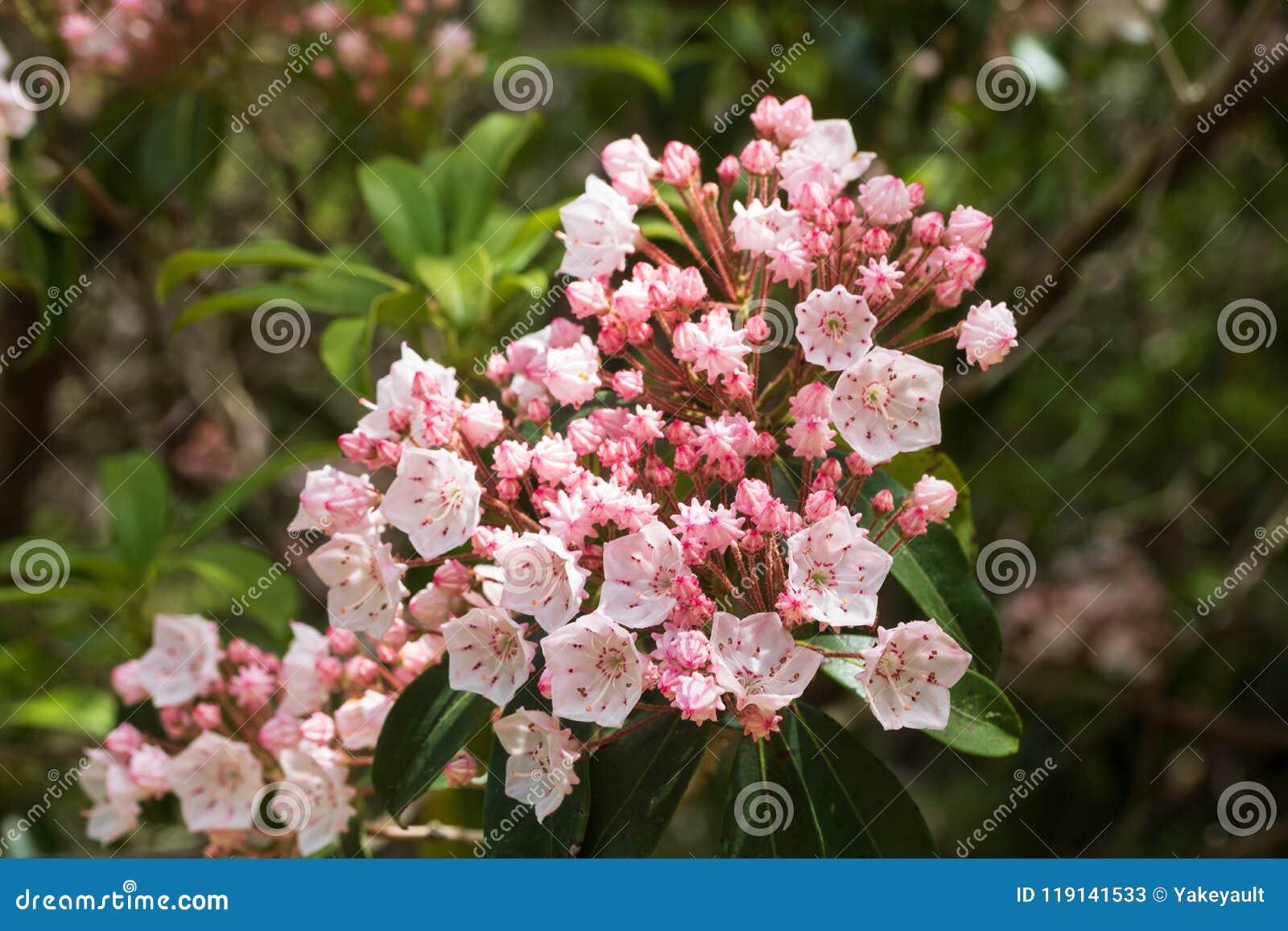 De struik van de berglaurier in bloei in Juni