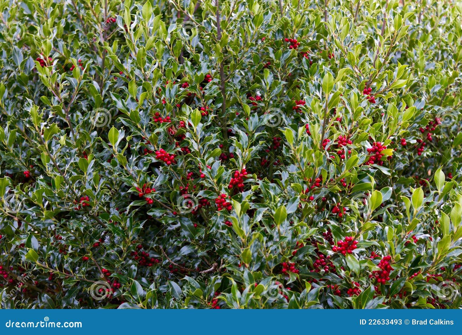 De struik van de hulst stock foto 39 s beeld 22633493 - Bush architectuur ...