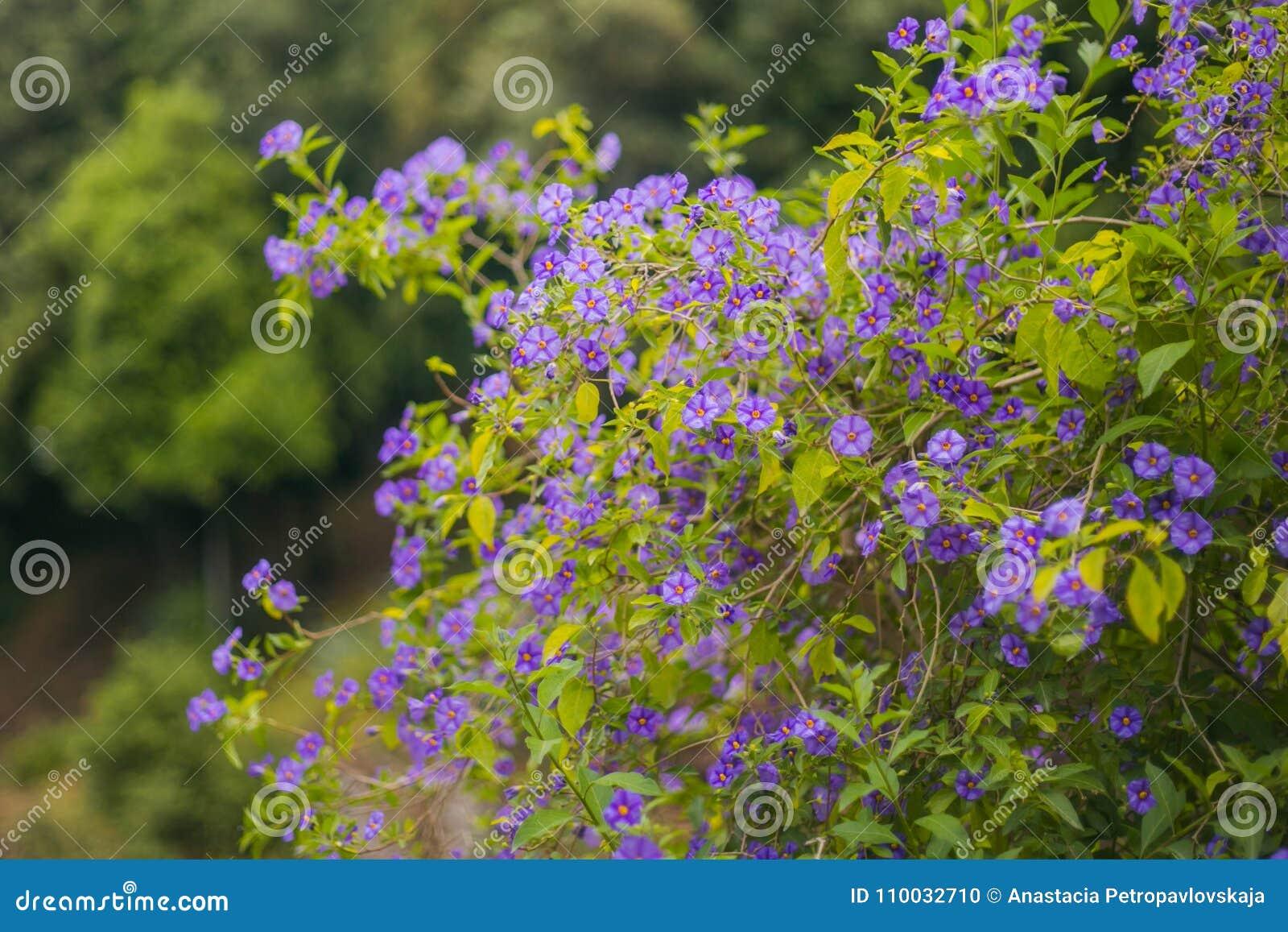 De struik van de lentebloemen - violette kleur