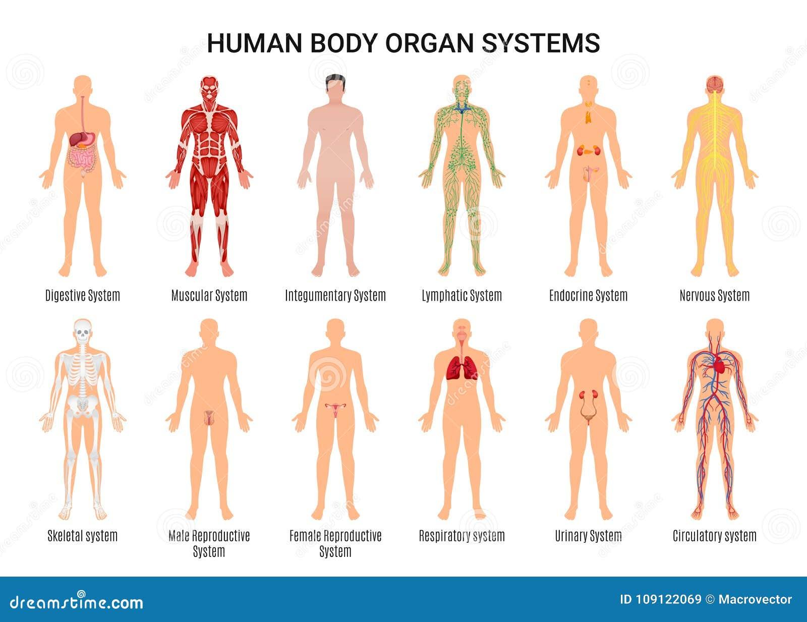 De Systemenaffiche van het menselijk Lichaamsorgaan