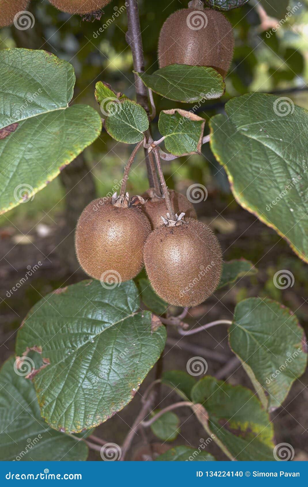De tak van Actinidiadeliciosa met kiwifruit