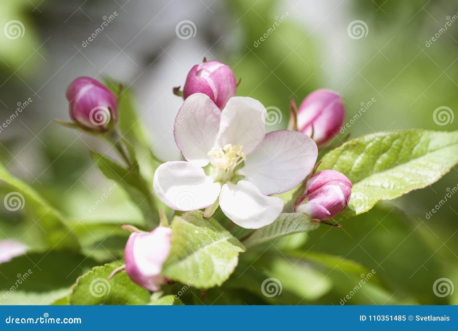 De tak van bloeiende wilde Apple-boom met tedere roze knopbloemen, springt zonnige dag op
