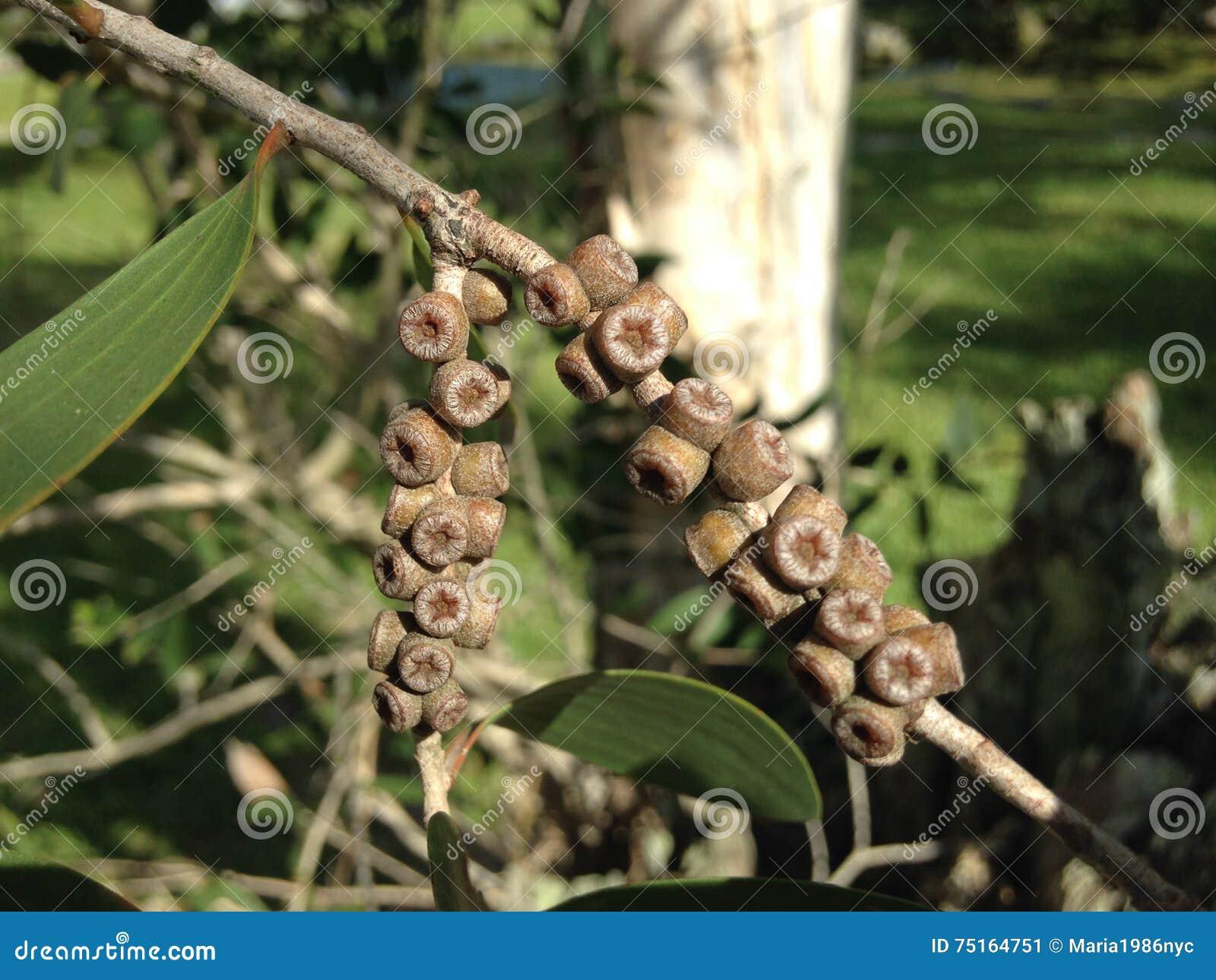 De Tak van de eucalyptusboom met Zaden