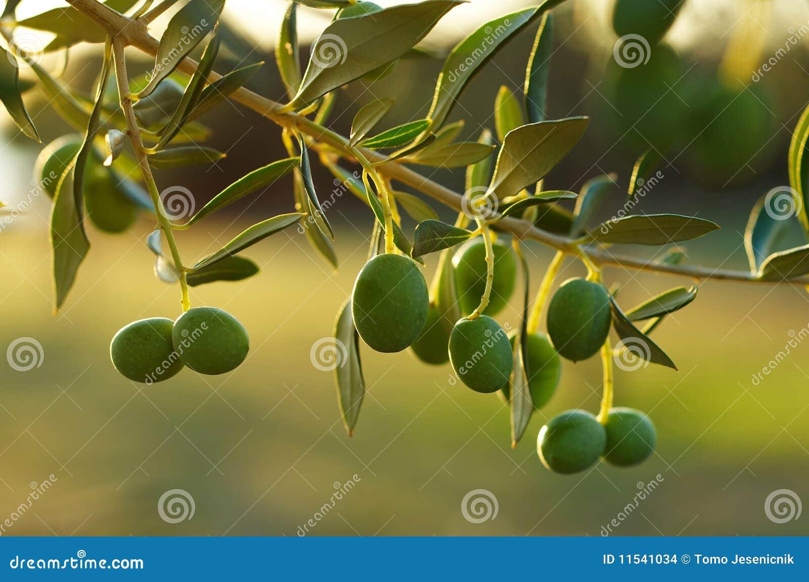 De tak van de olijfboom