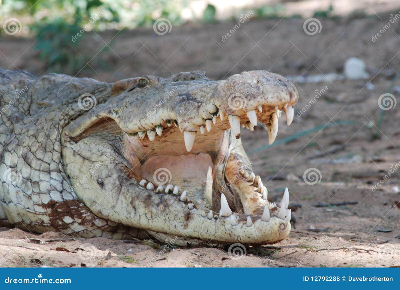 De tanden van de krokodil