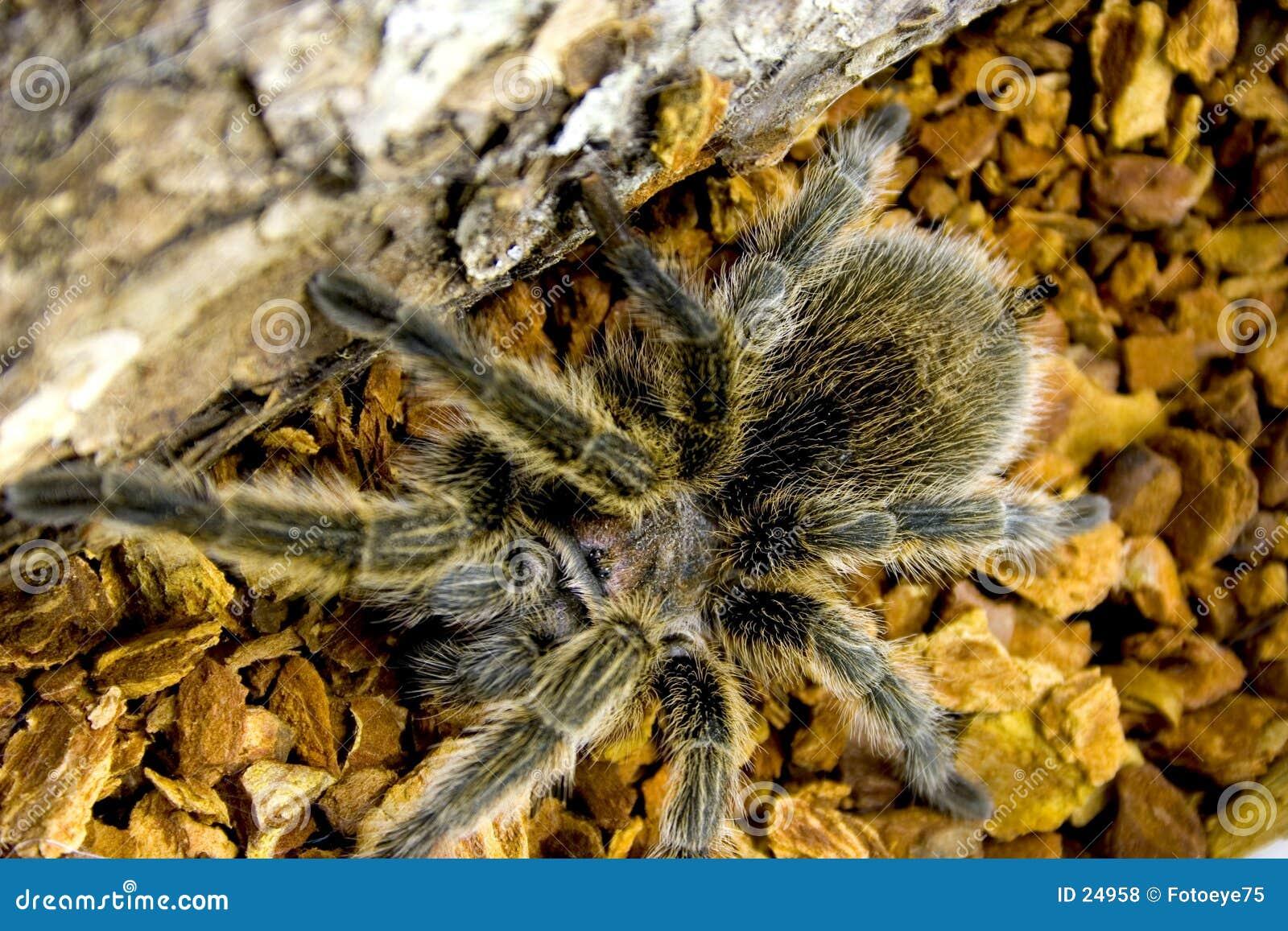 De tarantula van het roze-haar