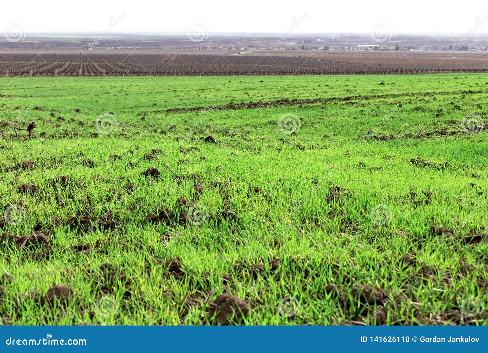 De tarwe is gezaaide in time, is de jonge tarwe zeer goed geavanceerd, tarwegebied en wijngaard