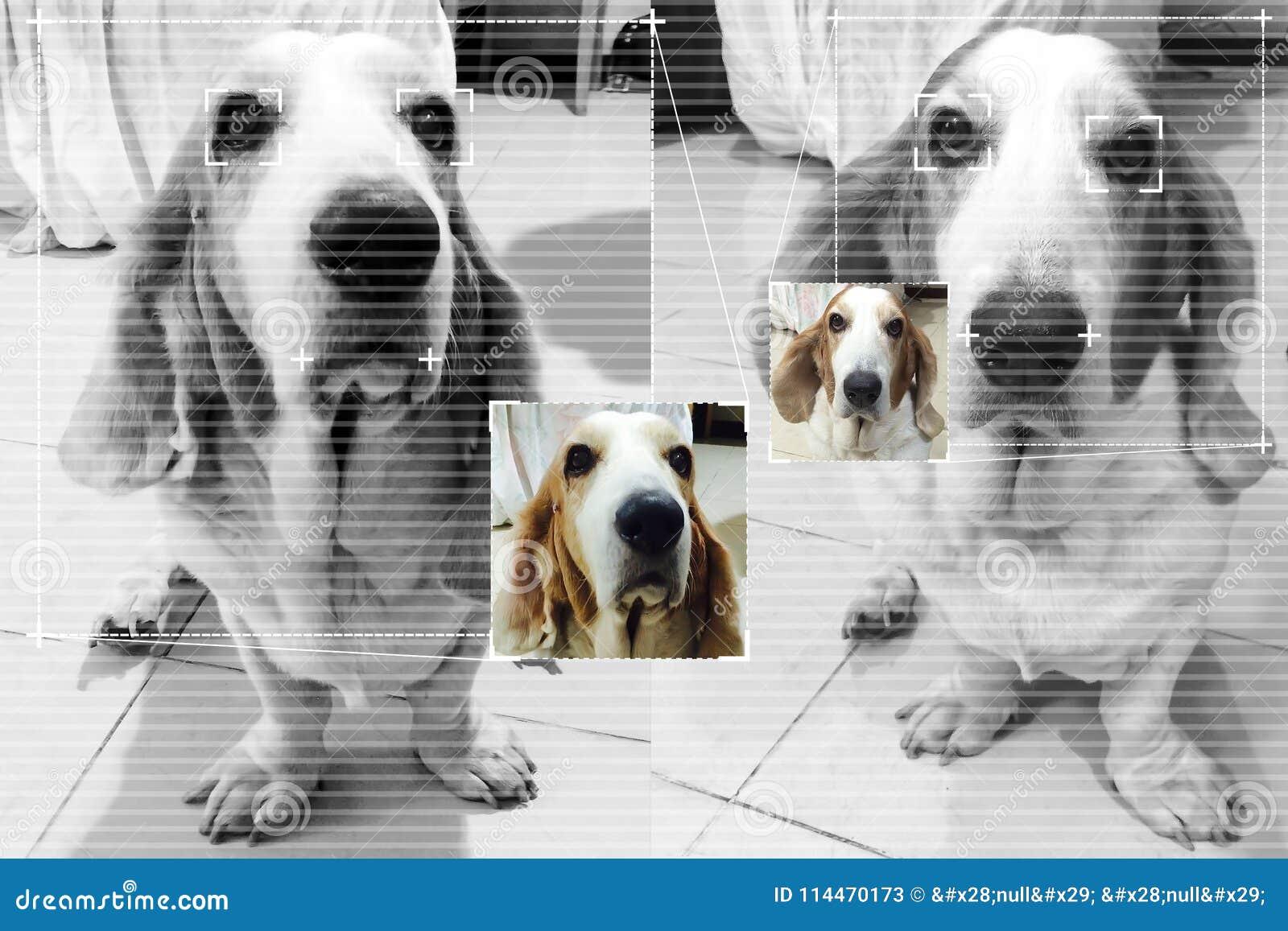 De technologie van de gezichtsopsporing voor hondbasset hond met het scherm detec