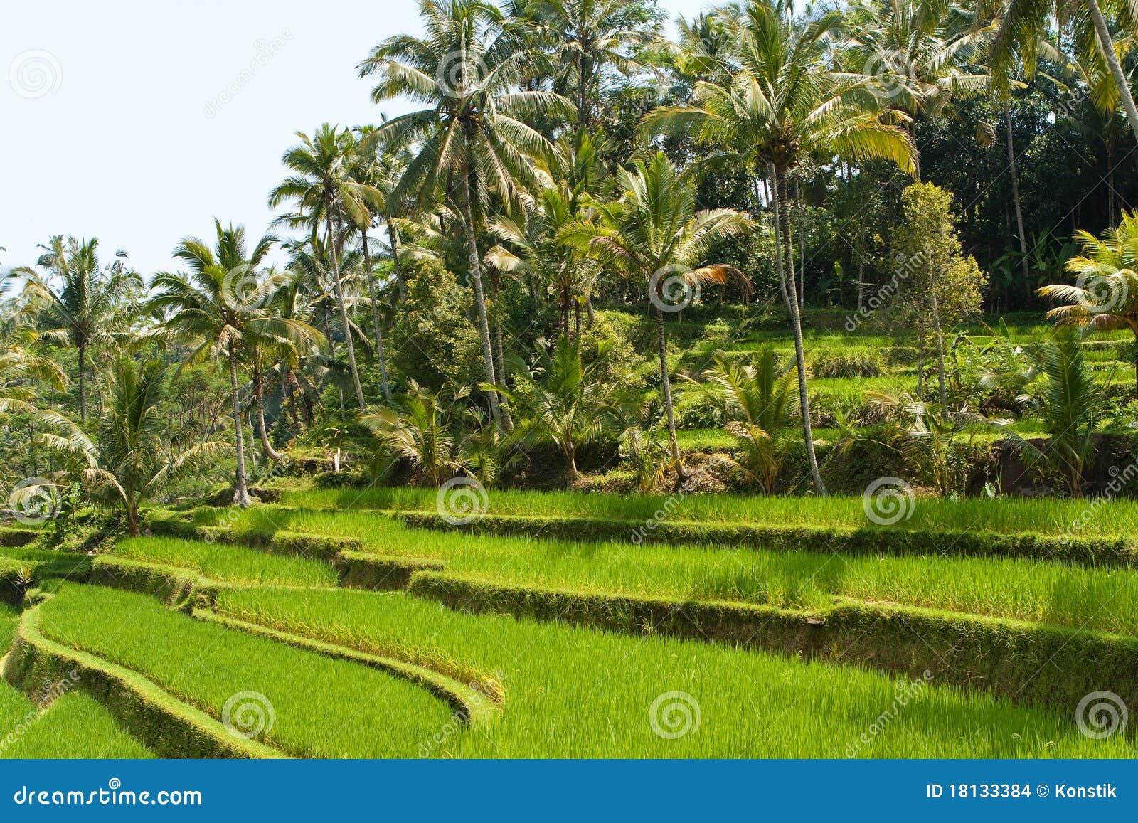De terrassen van de rijst bali indonesi stock afbeeldingen beeld 18133384 - Afbeeldingen van terrassen verwachten ...