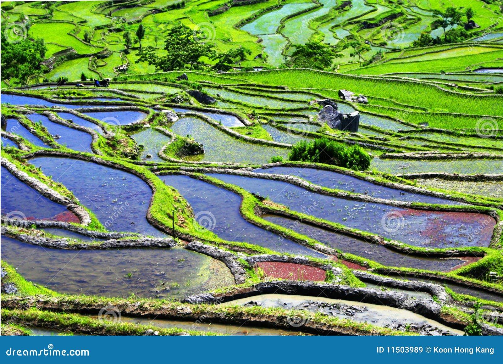 De terrassen van de rijst van yuanyang yunnan china stock afbeelding afbeelding 11503989 - Afbeeldingen van terrassen verwachten ...