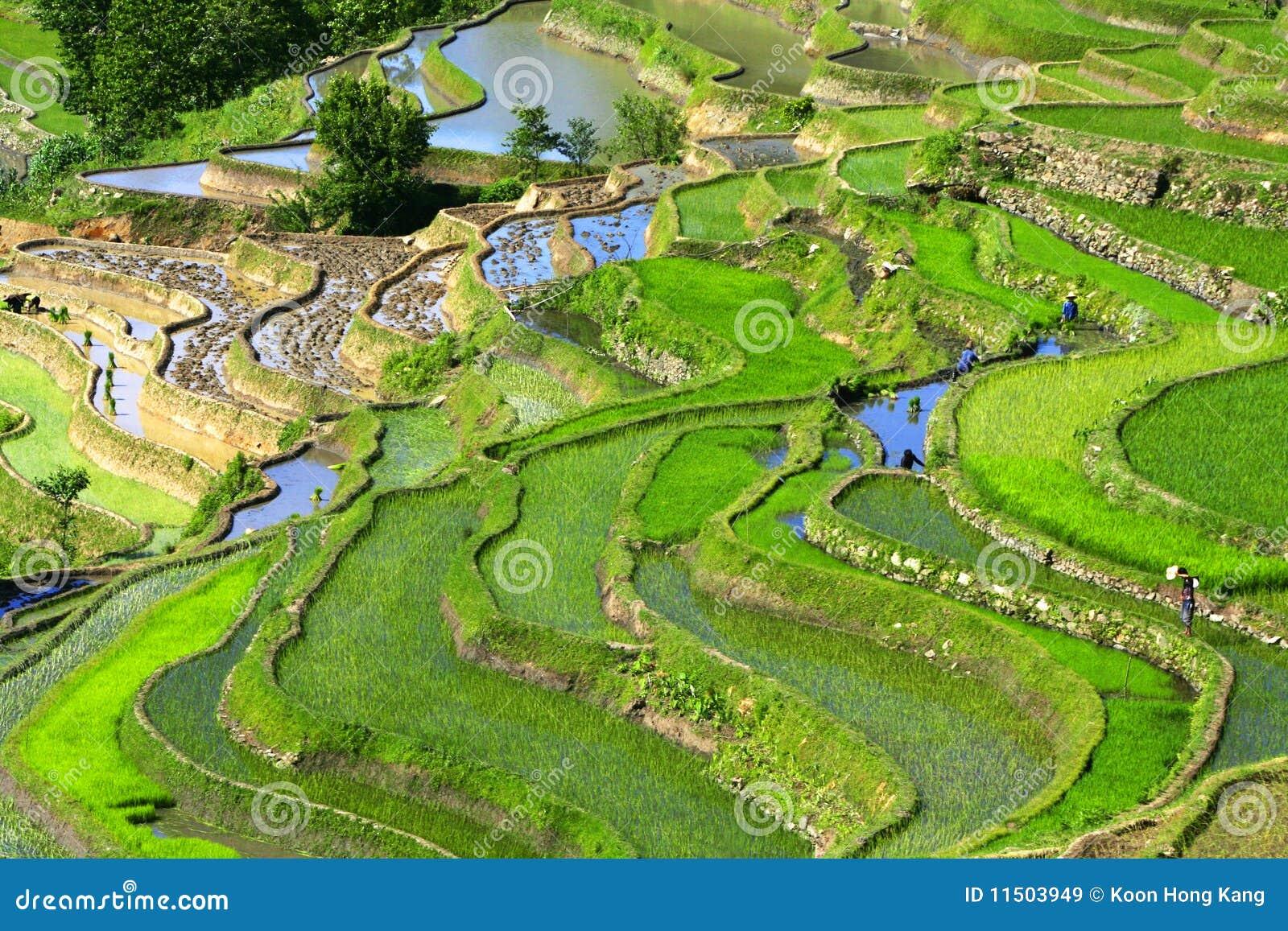 De terrassen van de rijst in yuan yuan yang royalty vrije stock afbeeldingen beeld 11503949 - Afbeeldingen van terrassen verwachten ...