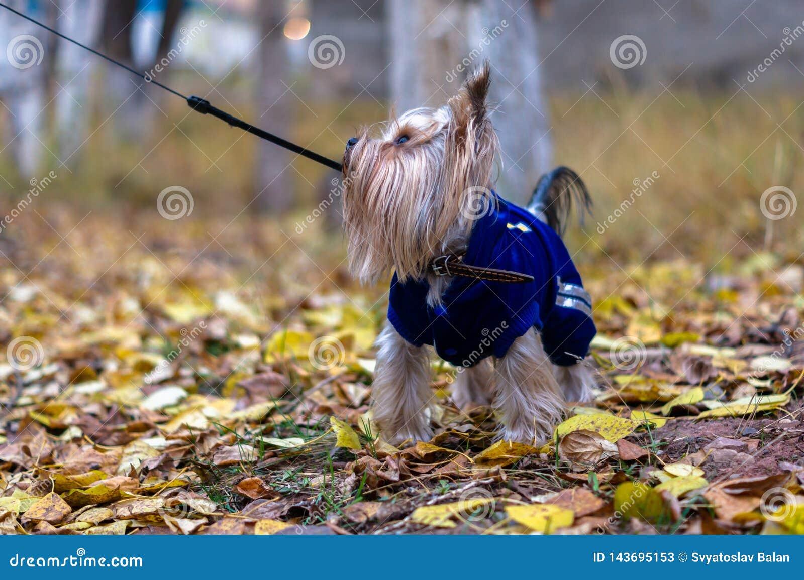 De terriër van Yorkshire op een leiband kijkt aan de kant Hond op een de herfstgang Een weinig langharig puppy die een blauwe swe