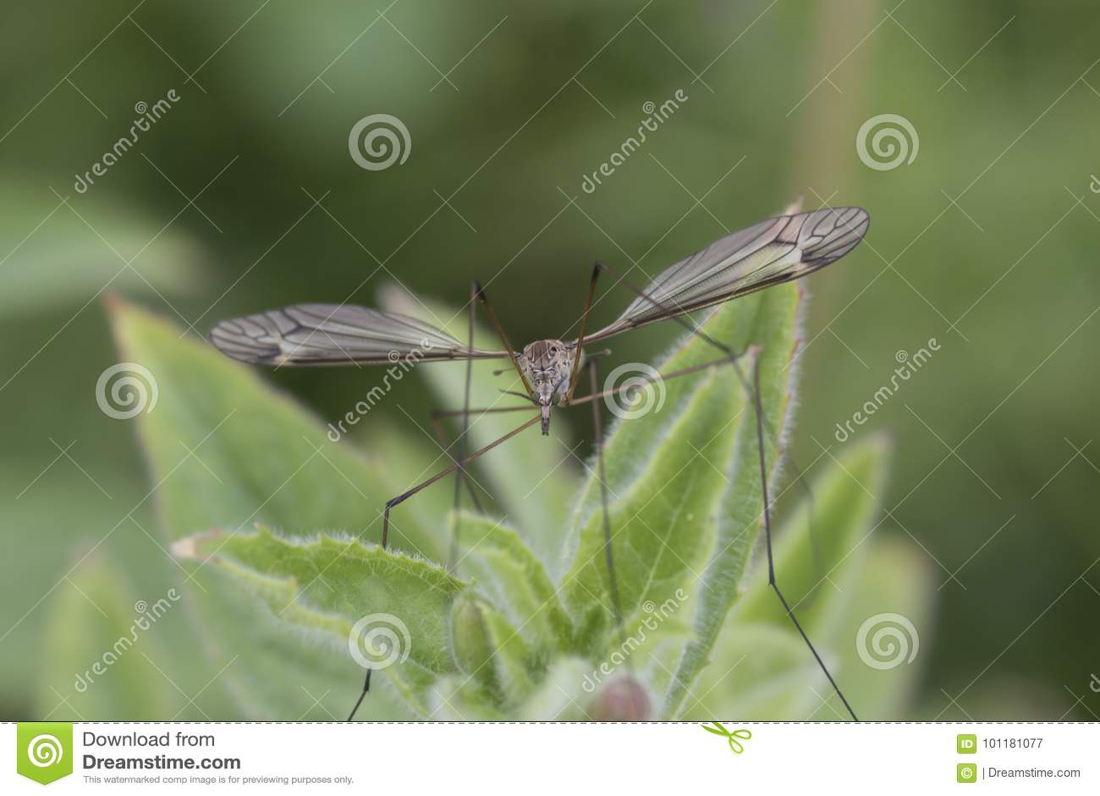 De tigre portrait cranefly