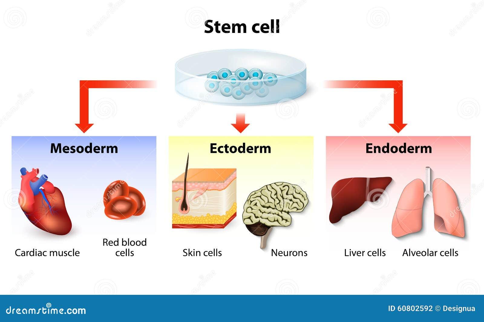 De toepassing van de stamcel