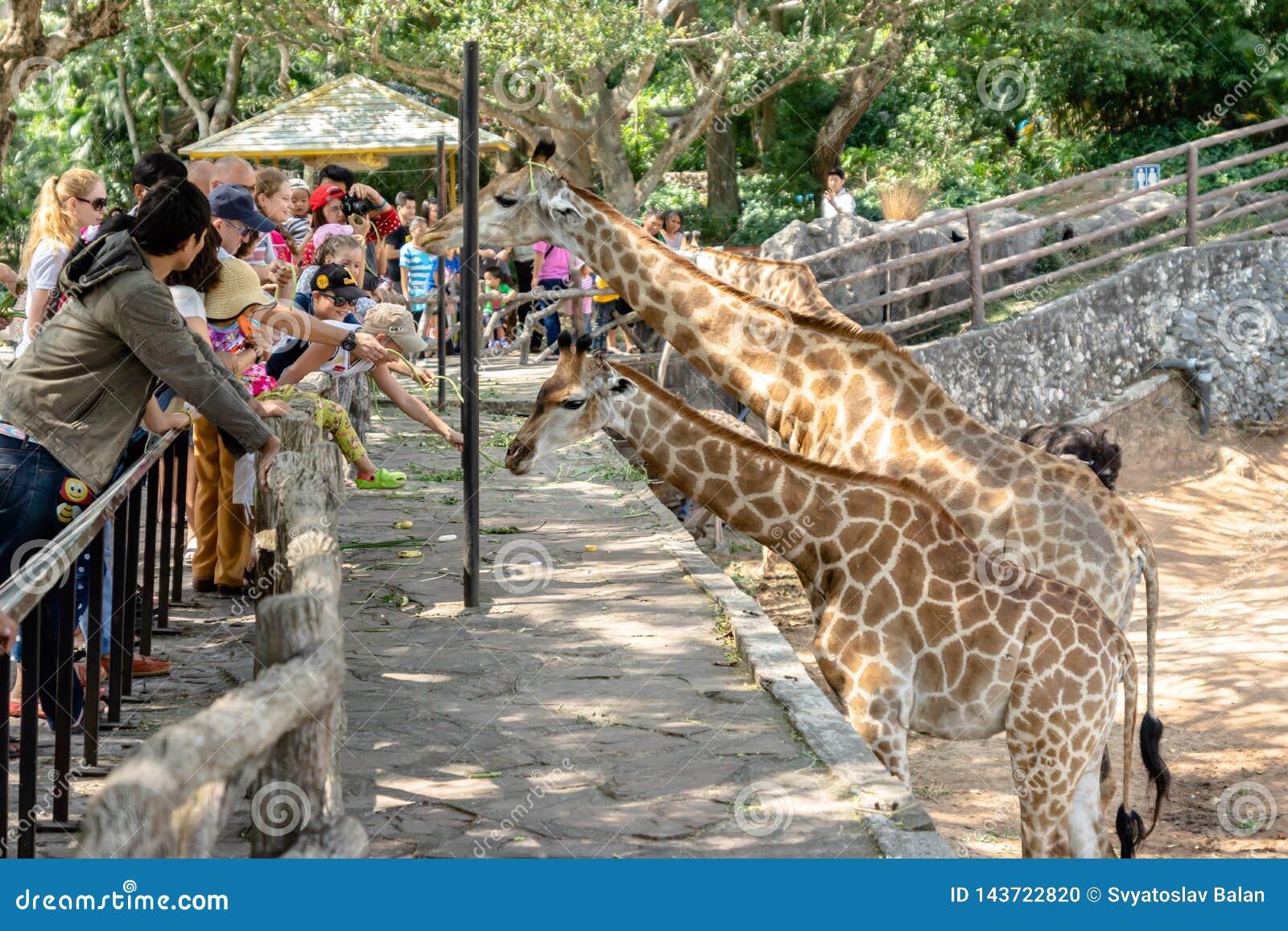 De toeristen voeden giraffen bij Pattaya-Dierentuin