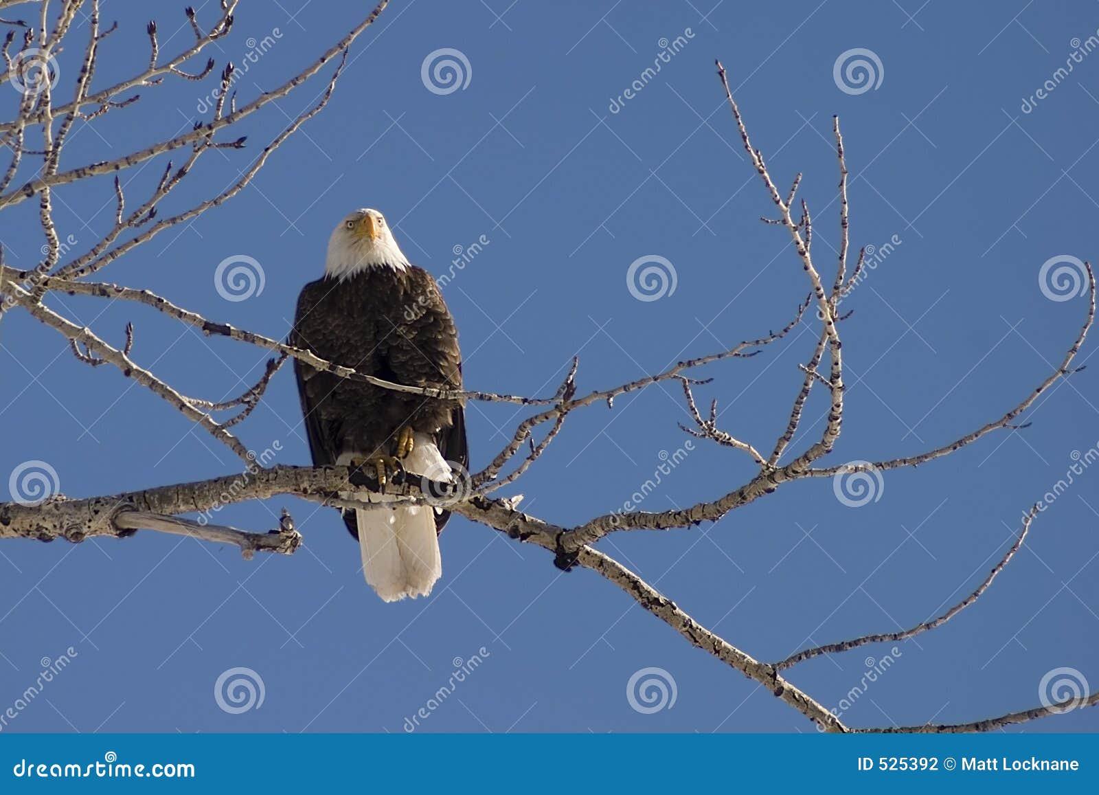 De Toppositie van de adelaar