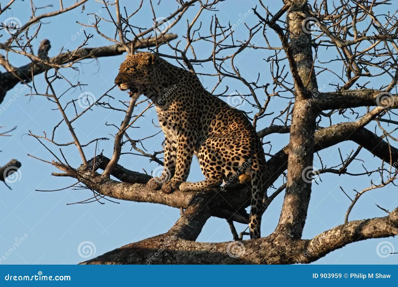 De topposities van de luipaard in een boom