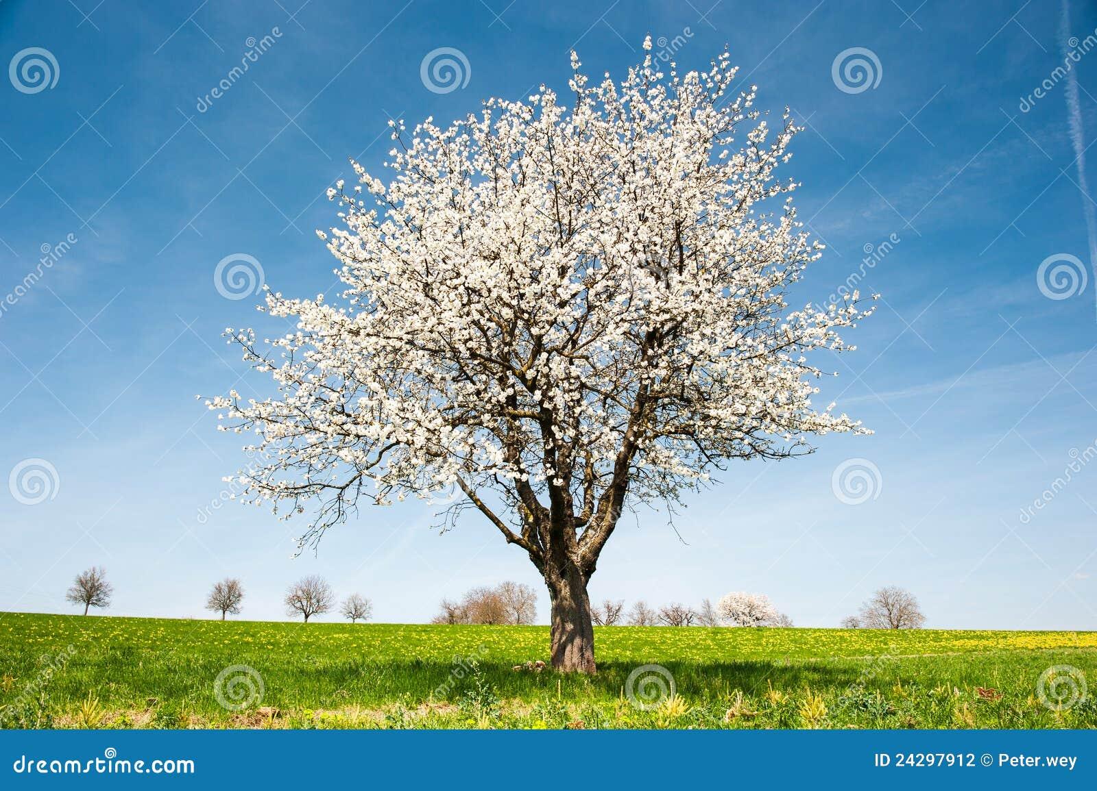De tot bloei komende Boom van de Kers in de Lente