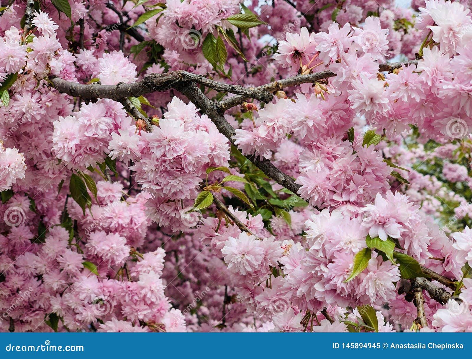 De tot bloei komende boom van de sakurakers van prunusserrulata kanzan roze in de lente